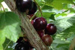 Possible new ergogenic aid – Blackcurrant