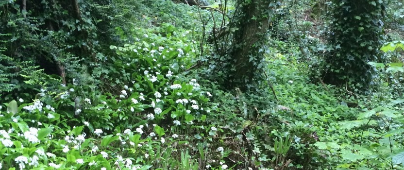 Wild Garlic, health and performance.
